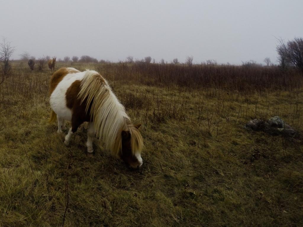 Mt Rogers Pony Grazing