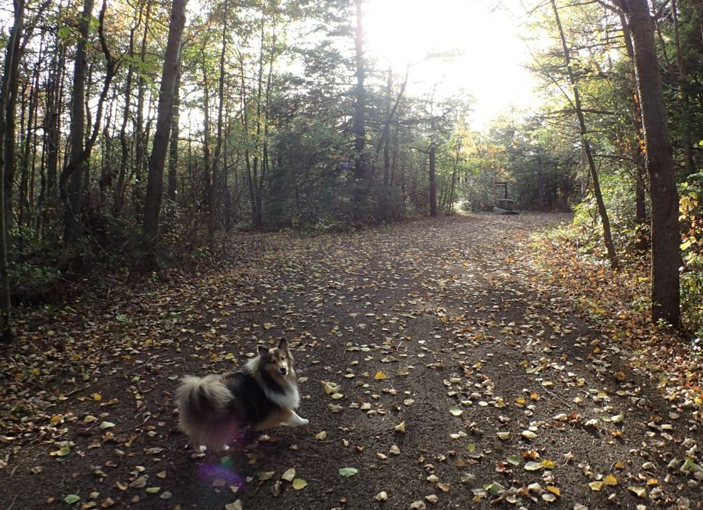 A very excited Sheltie leading the way