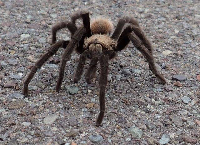 This tarantula was blocking traffic, in Big Bend until we shooed him off the road.
